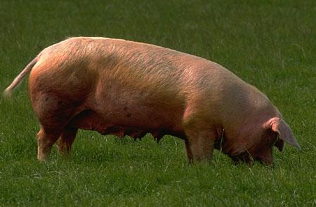 waren er geen varkens