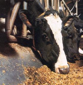 voeding koe