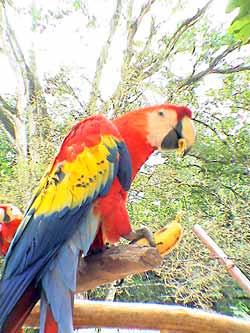afkomst papegaai